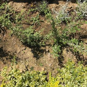 初心者にオススメの植物 庭木:シルバープリペットの成長