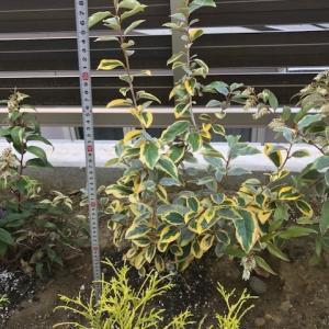 【斑入り葉が洋にも和にも合う】ナワシログミ ギルドエッジの成長記録~耐陰性もありとても丈夫で育てやすい