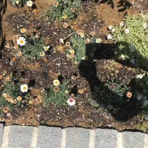 おすすめ植物:ローダンセマムの成長