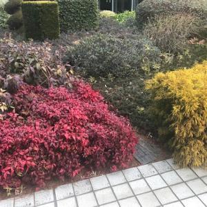 【赤と黄色】オタフクナンテンとゴールデンモップの組み合わせと成長記録