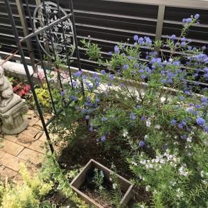 濃い青花の庭木:セアノサス(カリフォルニアライラック)の成長記録