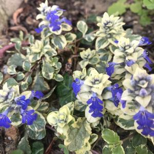 グランドカバーの定番:アジュガ(ajuga)5品種が庭の至るところで開花!