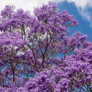 青い花を咲かせる庭木・植物8選まとめ ~ シンボルツリー,生垣,寄せ植えに