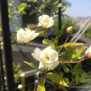 ガーデンアーチに誘引した白モッコウバラの成長と2年目の開花~花数が少なくなる原因も考察