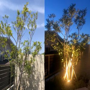 シンボルツリーの定番:地植えした株立ちシマトネリコの成長とガーデンライトを使ったライトアップ