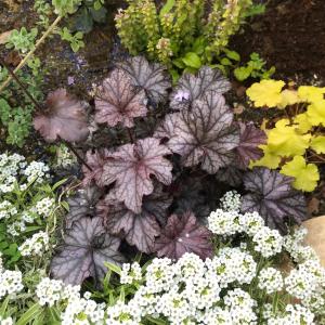 【日陰でも育つ】地植えヒューケラ6品種の成長と開花~寄せ植えやグランドカバーにおすすめ!