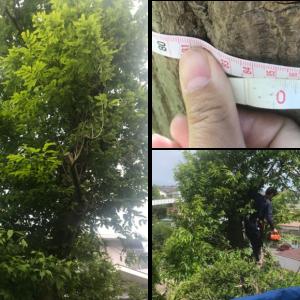 【北向き裏庭の庭づくり③】大木の伐採・処分を業者に依頼!~伐採の費用や適切な時期についても紹介