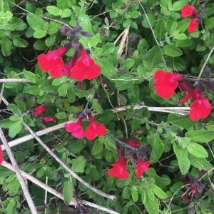 【花期が5~12月と長い!】チェリーセージの成長記録と開花~庭に『赤』のアクセント