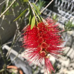 【個性的なブラシ状の赤花!】『カリステモン(キンポウジュ)ドーソンリバー』の成長と開花!