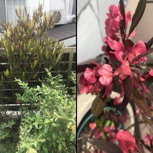 銅葉とピンクの莢が美しい個性的な庭木:ドドナエア(ポップブッシュ)の成長記録