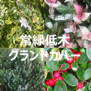 グランドカバーに使える『常緑低木』9選~初心者にも育てやすく,冬枯れしない丈夫な植物を様々なタイプから選定!