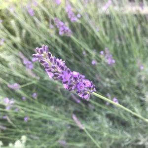 ラベンダーグロッソの成長記録と開花!~地植え育成2年で幅1m以上に巨大化!