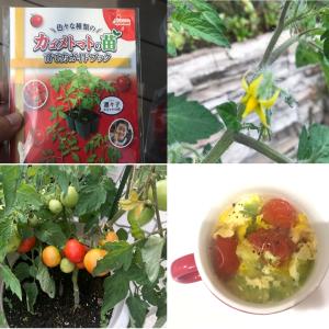 家庭菜園初心者が手抜き栽培した『カゴメトマトの苗(凛々子)』の成長記録~苗の植え付けから収穫・試食まで~