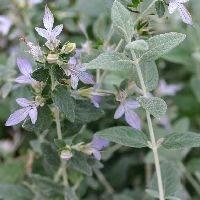 常緑シルバーリーフ『ツリージャーマンダー』の成長記録~植え付けから紫花の開花まで~