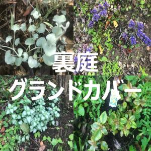 裏庭のグランドカバー:日陰・半日陰の育成して雑草抑制効果を検証