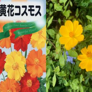 【種から育成】キバナコスモスの成長記録~タネまきから開花までの45日間~