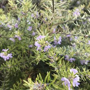 常緑・丈夫で花期が長い『斑入りウエストリンギア(バリエガータ)』の成長記録
