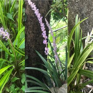 日陰で育つ常緑多年草『ヤブラン』成長と開花~斑有り無しや花色の異なる品種も紹介!