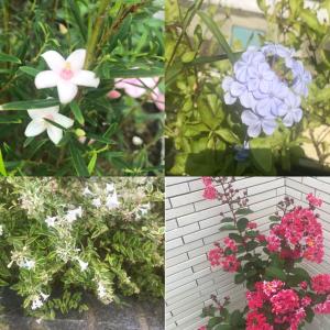 【実際に育てた】真夏に花が咲くおすすめ『庭木』まとめ 7選