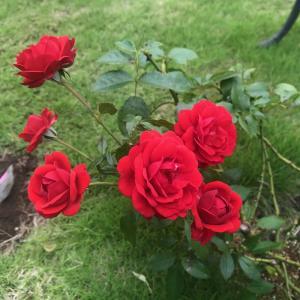 赤バラジークフリート②:初夏から秋の成長,恐ろしい『根頭がん腫病』の発生と処理