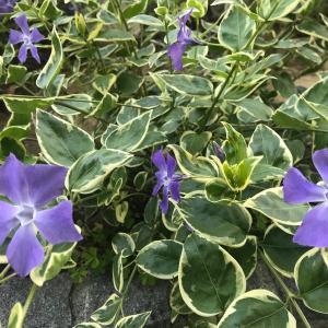 斑入りグランドカバー『ツルニチニチソウ』の2年間の育成記録~春の開花と夏の驚異的な成長・剪定