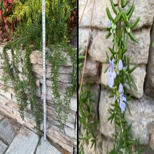 【這性】『ローズマリー・プロストラータス』の成長と開花~花壇から垂らすように育成