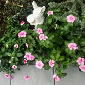【育てて良かった1年草】暑さに強く花が長く咲く!『ニチニチソウ(日日草)』の成長記録