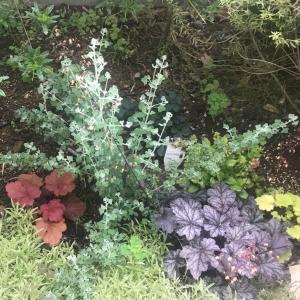 【紅葉するシルバーリーフ】寄せ植えに使える常緑の庭木『ホワイトソルトブッシュ』の成長記録