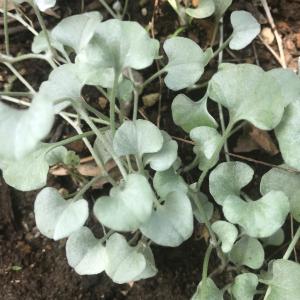 【シルバーリーフ】「ディコンドラ(ダイカンドラ)・シルバーフォールズ」をグランドカバーと寄せ植えに使って育成!