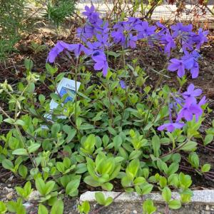 常緑グランドカバー『ツルハナシノブ(宿根フロック)』の成長記録と開花