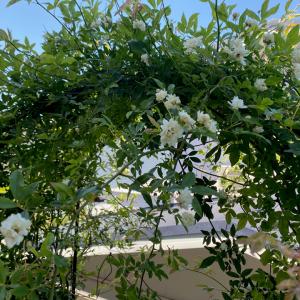 人がくぐらない花壇の中の『ガーデンアーチ』:設置場所の検討と「ツルバラ」誘引、その後3年間の様子