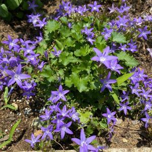 常緑の青花グランドカバー『アルペンブルー』株分けして育てた苗の成長と開花-おまけ:アルペンピンク