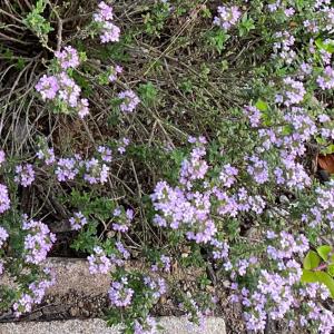 【料理の香りづけハーブの定番】フレンチタイム(コモンタイム)の成長と開花、収穫