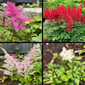 日陰を明るくするフワフワの花の宿根草!『アスチルベ』の成長記録~花色の異なる4種類を育成