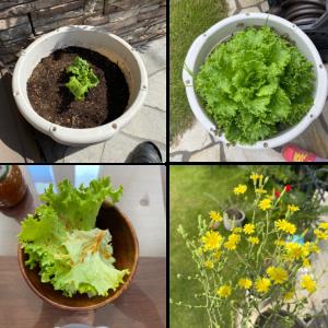 【家庭菜園】『リーフレタス』の成長と収穫・とう立ち後の開花~外葉を「かきとり収穫」して長く楽しむ!