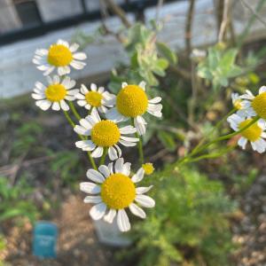 【リラックスハーブ】苗から育てた『ジャーマンカモミール』の成長・開花・収穫