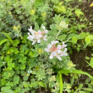 フワフワの黄色葉が美しい『ロータス・ブリムストン』の成長と開花!~過去3度の育成記録まとめ~