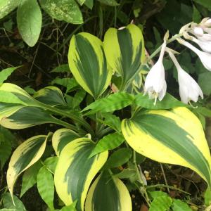 日陰で育つ宿根草『ギボウシ(ホスタ)オータムフロスト』の1年間の成長と2度の開花