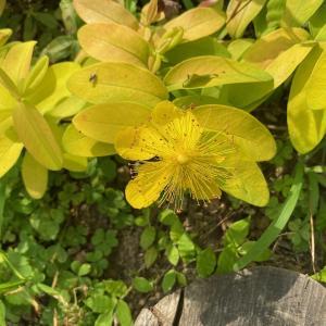 黄金葉と葉色の変化が楽しめる常緑植物!『ヒペリカム・ゴールドフォーム』の1年間の成長記録