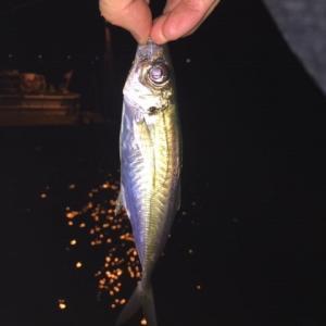 乙津川河口(大分市)でのナイトアジング釣行で小型魚♪