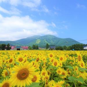 ニセコアンヌプリと名もなきひまわり畑の絶景【北海道】