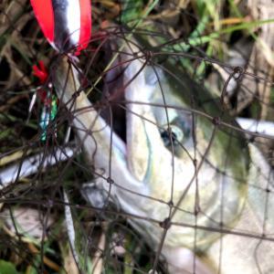 【速報】今年の浜益川サケ釣り河口規制・サケ有効利用調査の概要が決定!