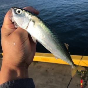 釣った小サバで久しぶりに南蛮漬け作る。