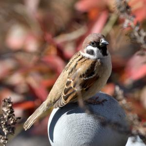 庭先で探鳥・・・(スズメ) ☆新年最初のバードウォッチングは2階の窓から。(笑)
