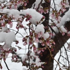 え~っ、この冬一番の積雪!?・・・ ☆我が家もサクラが咲き始めて、春だと思ったのに。