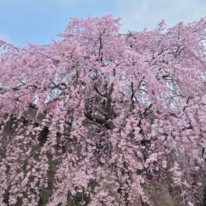 上田城跡公園のサクラ・・・ ☆訪れる人も少ないようで、ちょっと寂しげでした。
