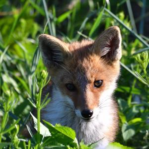 キツネ(狐)・・・ですよね? ☆すぐ近くには民家もあります。