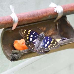 国蝶 オオムラサキ・・・ ☆ジャコウアゲハなども。