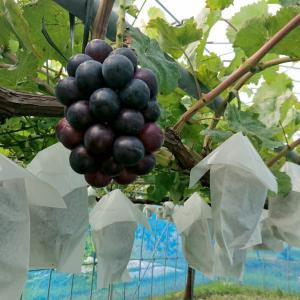 ナガノパープルのようすと、果樹園の草刈り・・・(自宅) ☆着色不足です。