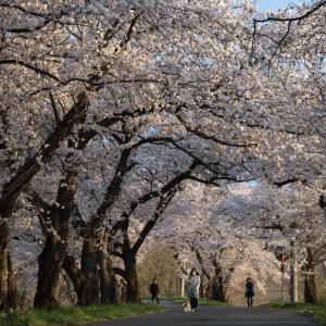 お花見! 恐竜公園下の桜並木・・・(長野市篠ノ井) ☆4月2日、3日の撮影です